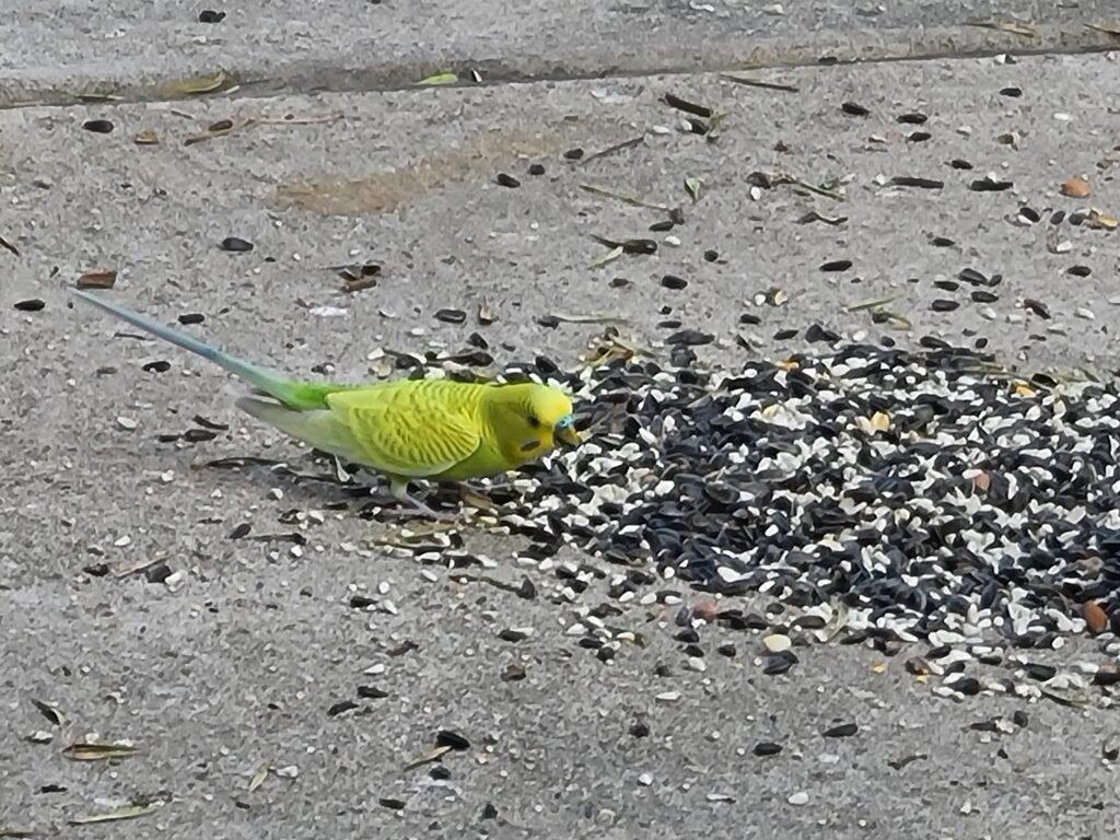 Parakeet eating birdseed
